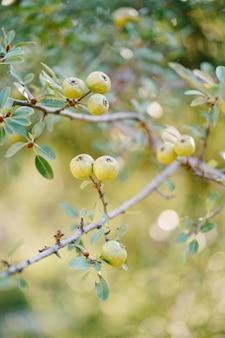 Маленькие зеленые яблоки на ветвях деревьев в саду