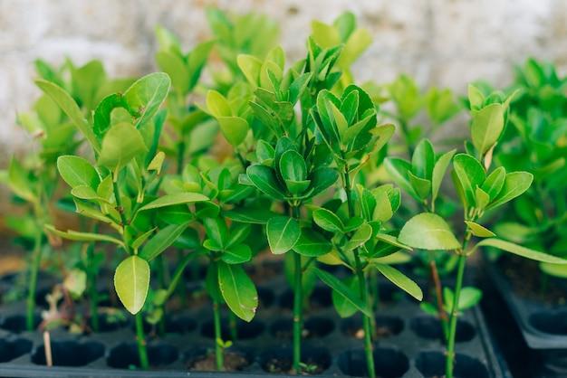 複数のポットで育つ小さな緑の赤ちゃんの植物や赤ちゃんの木。