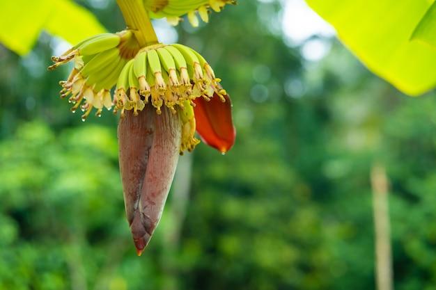 정글에서 나무에 작은 녹색 바나나 과일