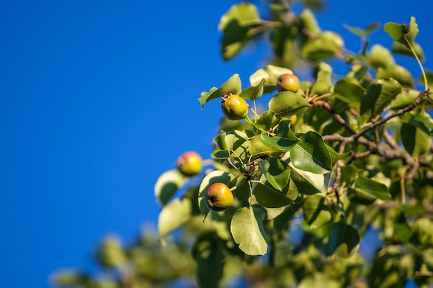 Small green fruit of a pear tree grows in the garden.