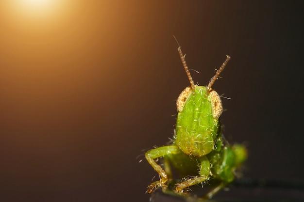 カメラを見ている小さな緑のバッタ
