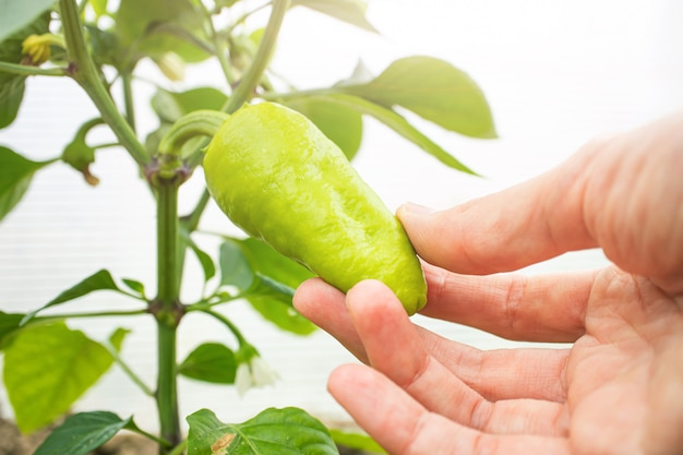 Small green pepper grows on a branch in a greenhouse.