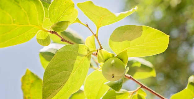 The small green persimmon on a branch