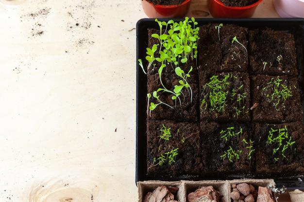 ポットの小さな緑の芽がクローズアップ