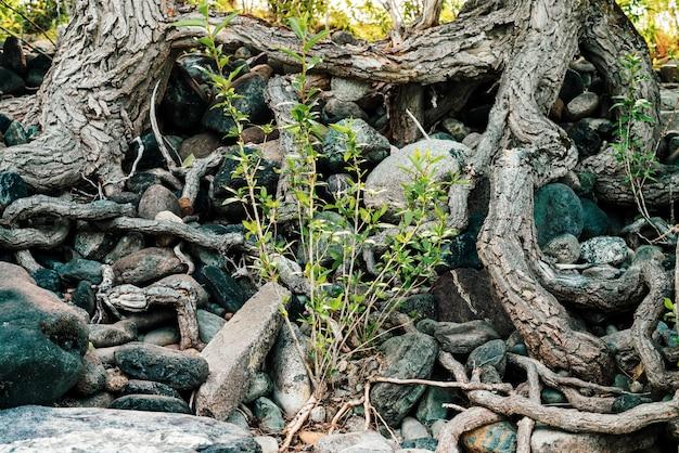 Маленькие зеленые ростки дерева вырастают из корней. природа солнечная, красивые корни лиственных деревьев на каменистом берегу. дерево растет на сваях. жизнеспособность растений. зацепляется за валуны на солнце.