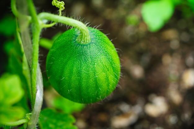 庭の小さなスイカ植物の枝に小さな緑色のスイカ