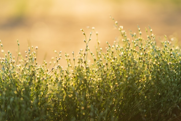 Small green wildflowers or grass meadow on golden hour sunset or sunrise time