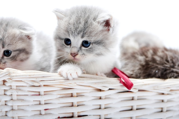 Small grey fluffy adorable kitten playing together in white wicker basket in photostudio.