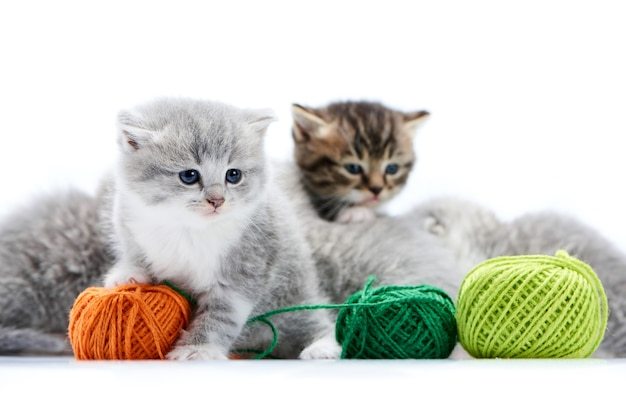 Small grey fluffy cats playing with yarn balls  on white photostudio background.