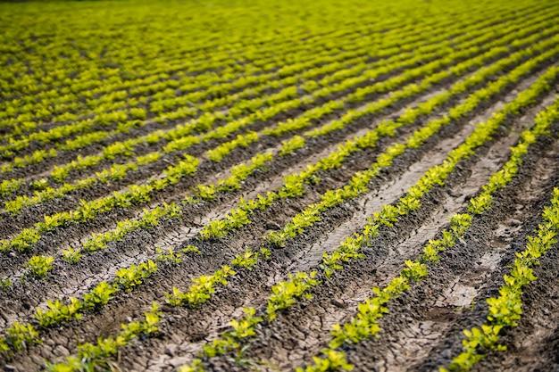 農業分野の小さな落花生植物