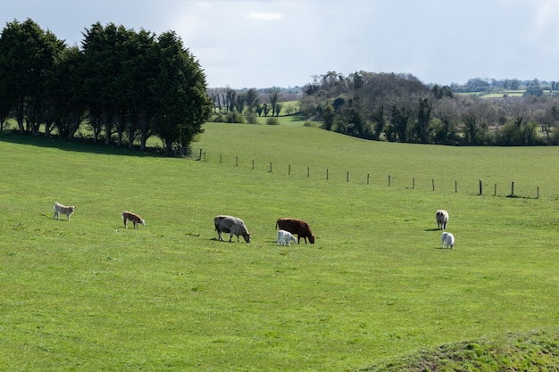 Small group of cows with newborn calves in green grass during spring. rural lanscape.