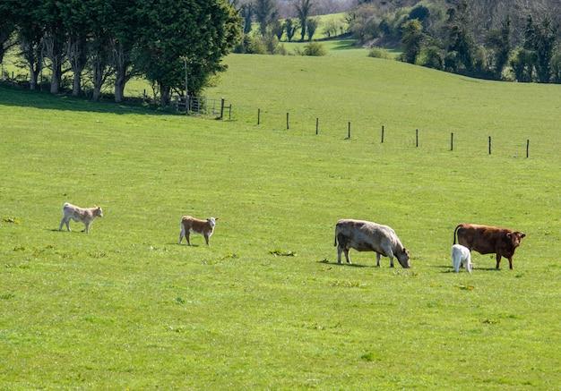 Небольшая группа коров с новорожденными телятами в зеленой траве весной