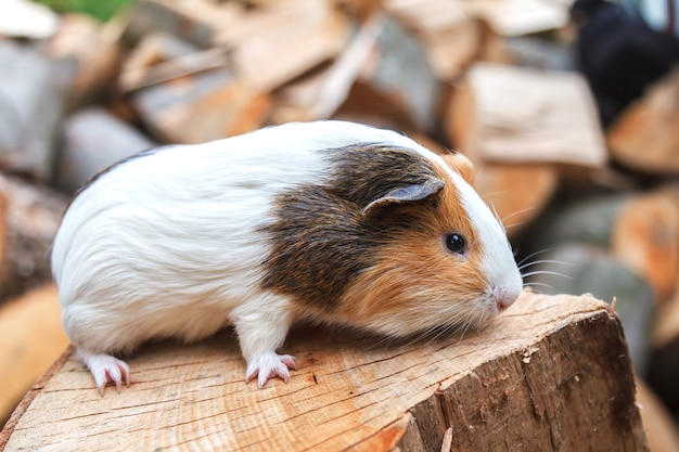 A small guinea pig sits on a stump