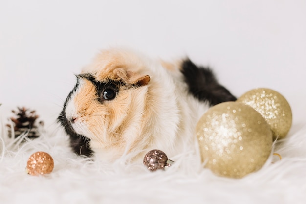 Small guinea pig with shiny baubles