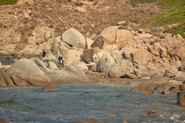 サルデーニャ南部の典型的な岩のビーチで自由に探検している小さな混血犬
