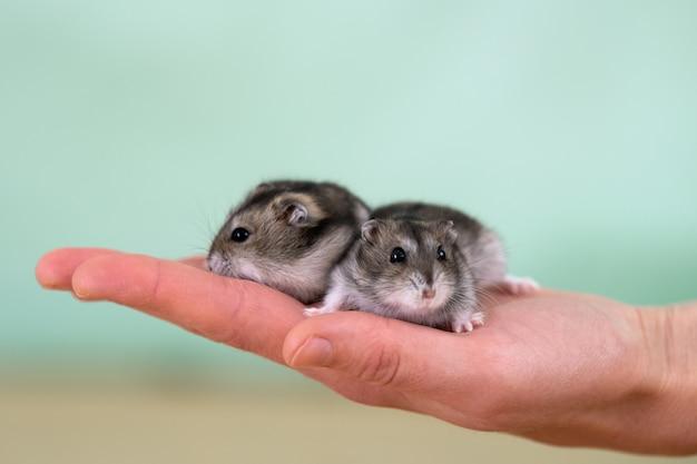 Маленькие хомяки сидят на женской руке