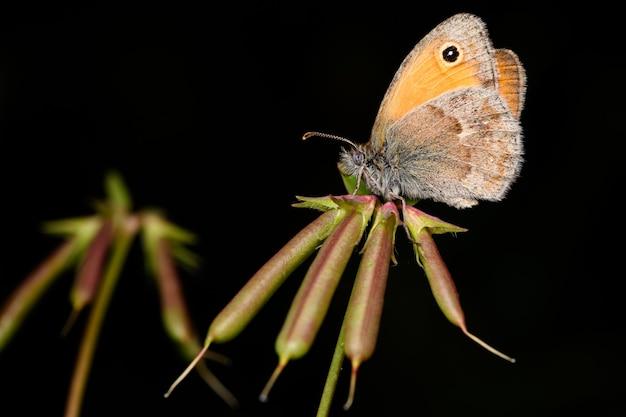 The small heath (coenonympha pamphilus)