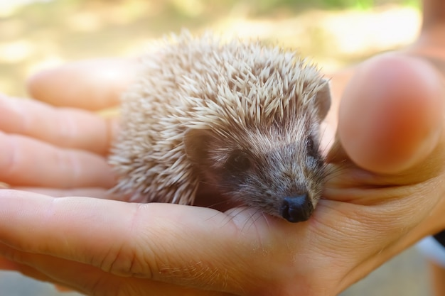 Small hedgehog in female hands