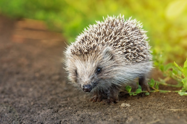 Small hedgehog in the grass