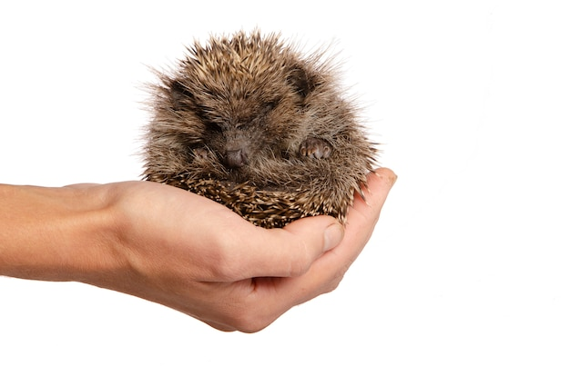 A small hedgehog on the hand of a man