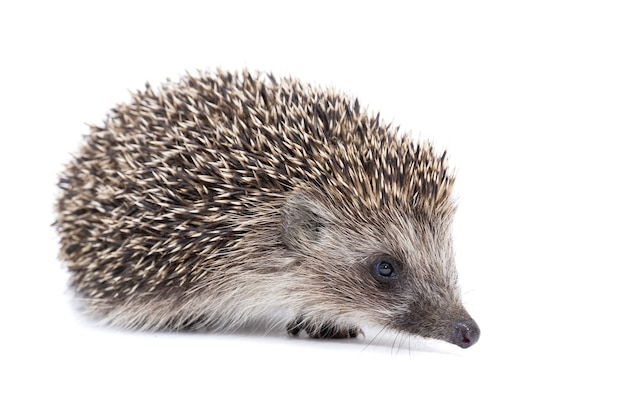 A small hedgehog isolated on a white background.