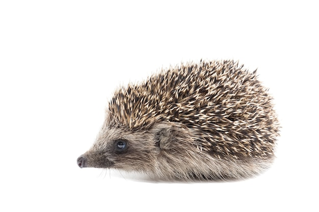 A small hedgehog isolated on a white background