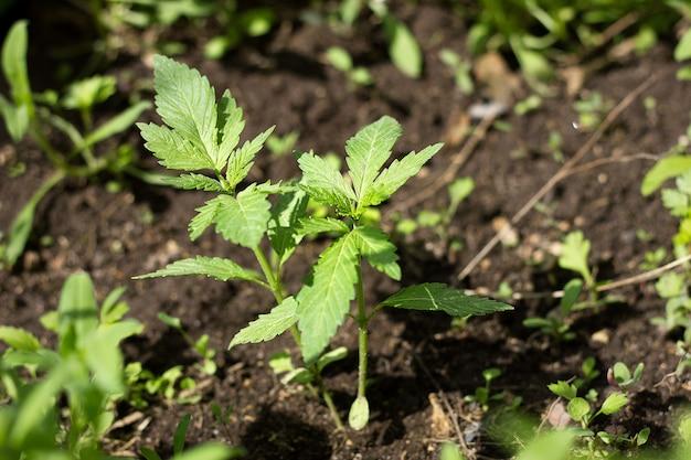 A small hemp bush