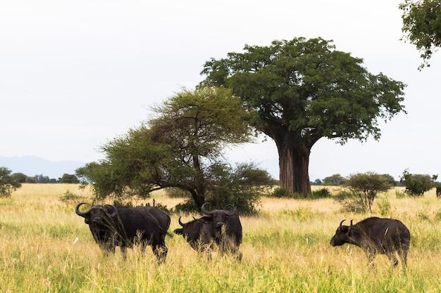Небольшое стадо буйволов возле большого баобаба. тарангире, танзания