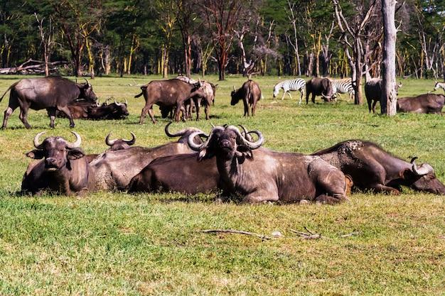 ケニアで休んでいる水牛の小さな群れ