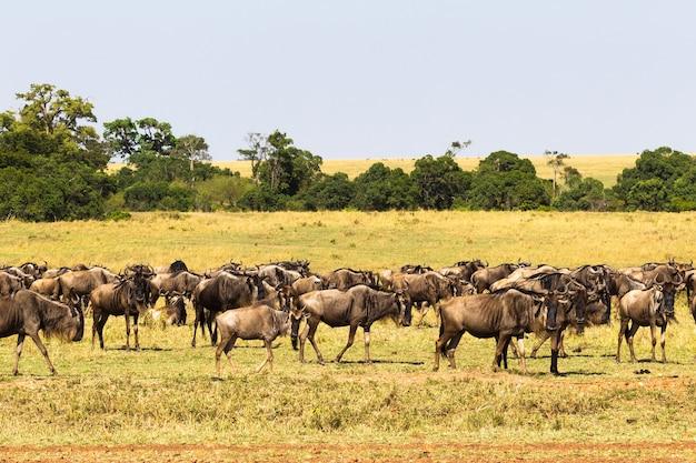 Небольшое стадо антилоп гну в саванне
