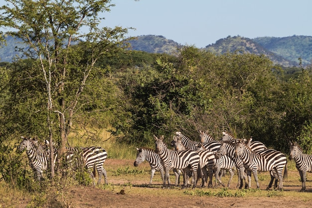 Небольшое стадо зебр в саванне. серенгети, африка