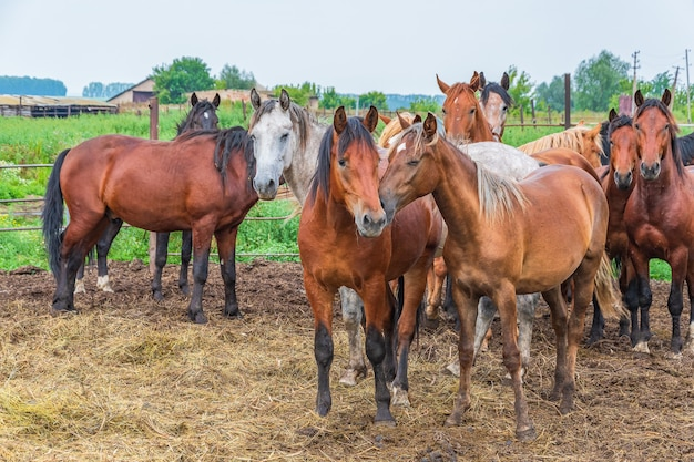 A small herd of young horses walks around the horse yard on a bright summer day