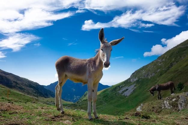 アルプスの山の牧草地の小さな馬