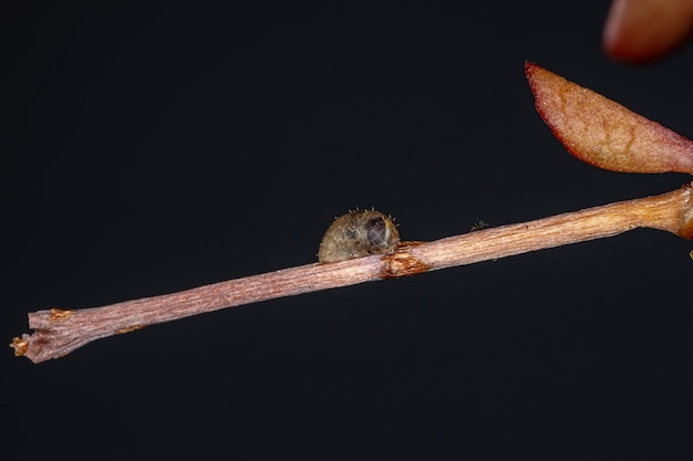 Small hover fly pupa of the genus dioprosopa