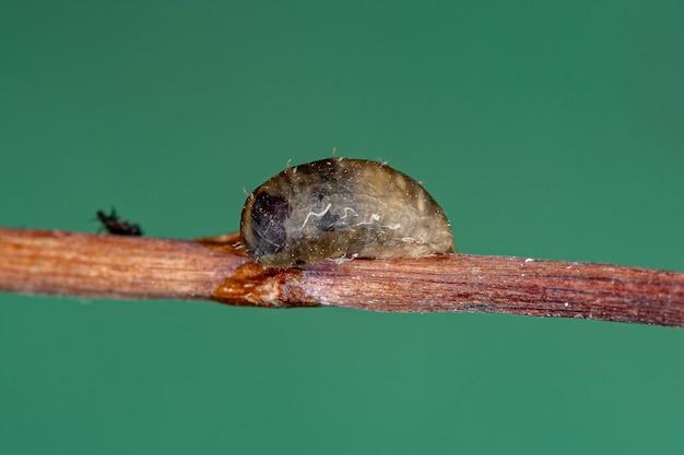 Dioprosopa 속의 작은 비행 파리 번데기