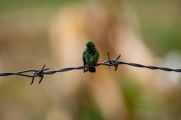 背景をぼかした写真でポーズ小さなハチドリ