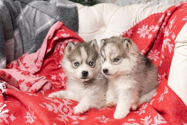 작은 허스키 강아지는 눈송이와 밝은 빨간색 담요에 누워