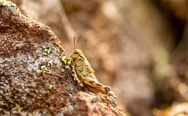 Small insect grasshopper on the volcanic stones,