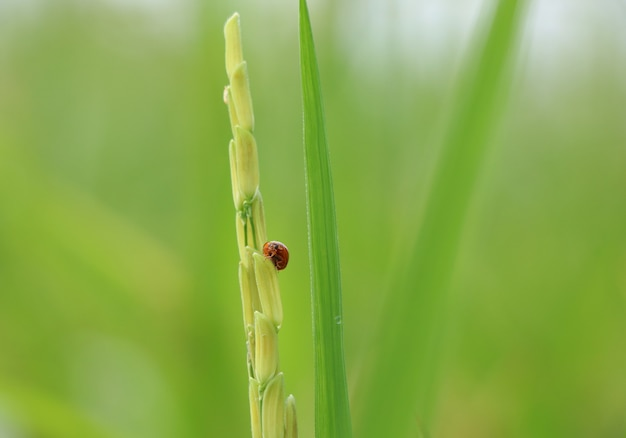 Small insect ladybug animal holding on ears of rice green environment