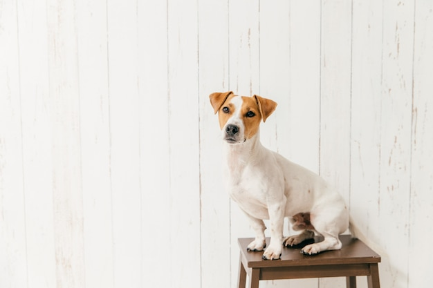 Small jack russell terrier dog on chair has smart look