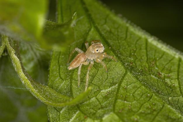 Small jumping spider of the genus chira
