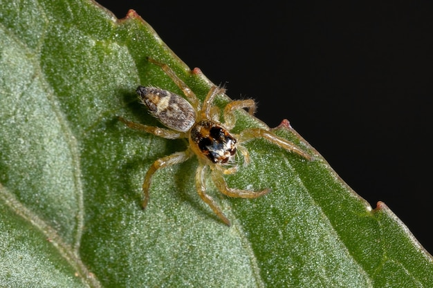 Small jumping spider of the genus frigga on a hibiscus sabdariffa leaf