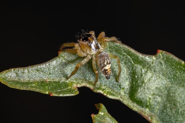 Small jumping spider of the genus frigga on a hibiscus sabdariffa leaf Premium Photo