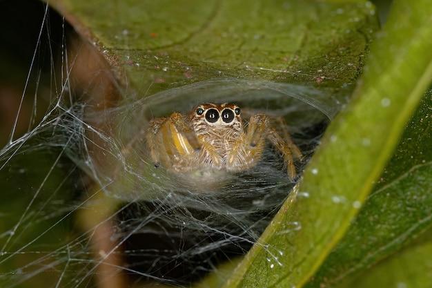 Small jumping spider of the genus frigga