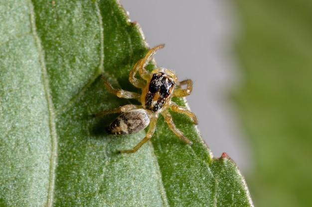 히비스커스 sabdariffa 잎에 frigga 속의 작은 점프 거미