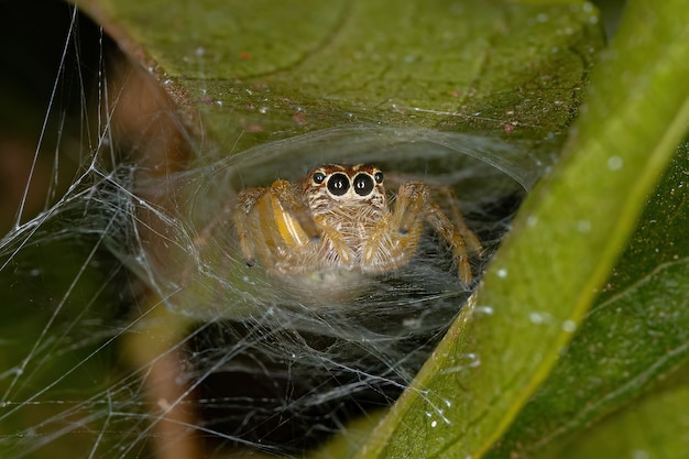 Frigga 속의 작은 점프 거미