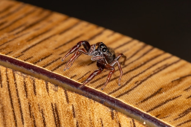 Small jumping spider of the species breda modesta
