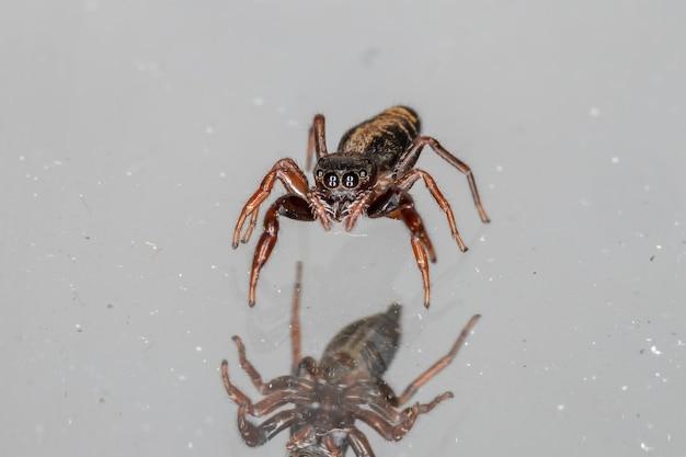 Small jumping spider of the species breda modesta Premium Photo