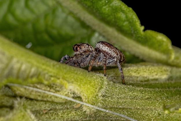 Small jumping spider of the subtribe dendryphantina