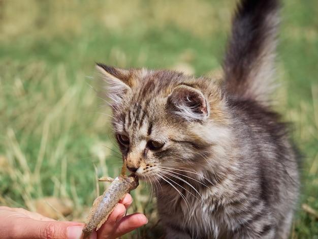 Small kitten eats a fish.